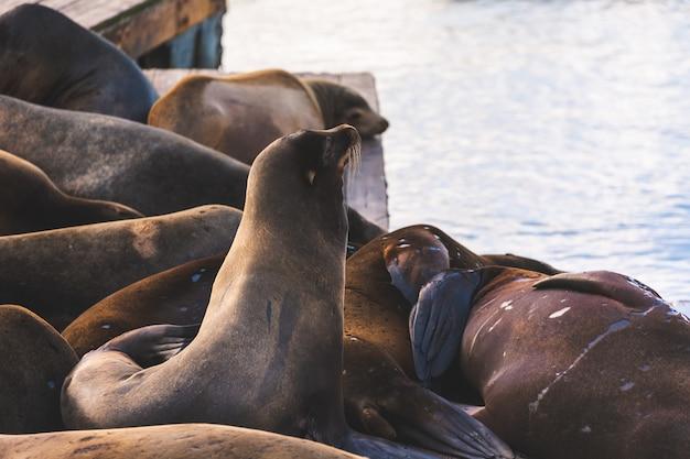 Zeeleeuwen in pier 39, san francisco, staat californië