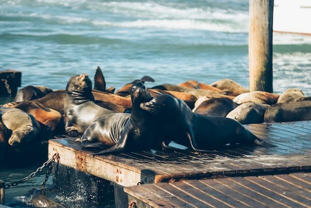 Zeeleeuwen knuffelen op de houten brug in san francisco