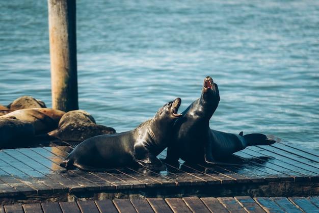 Zeeleeuwen op de houten brug