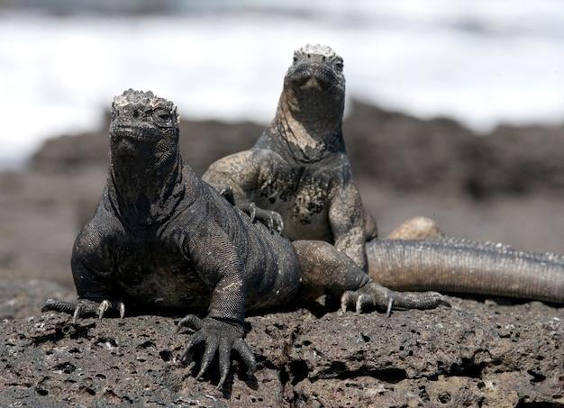 Zeeleguanen die op de rotsen zitten