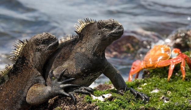 Zeeleguanen zitten op de rotsen tegen de achtergrond van de zee