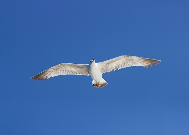 Zeemeeuw die boven water vliegt. selectieve focus, polarisatiefilter.