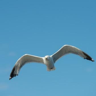 Zeemeeuw die in de hemel, meer van het hout, ontario, canada vliegt