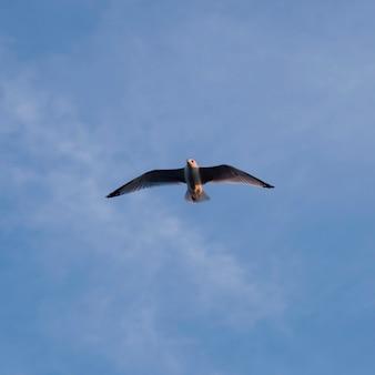 Zeemeeuw die in hemel, meer van het hout, ontario, canada vliegt