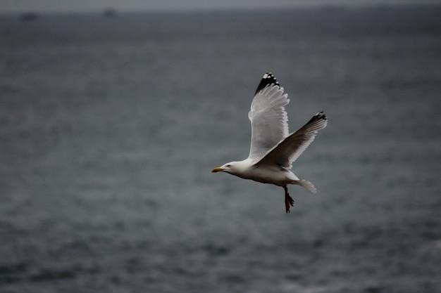 Zeemeeuw die laag over het zeeniveau vliegt