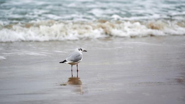 Zeemeeuw die langs kust loopt. kokmeeuw, chroicocephalus ridibundus, staande op het zandstrand aan de oostzee.