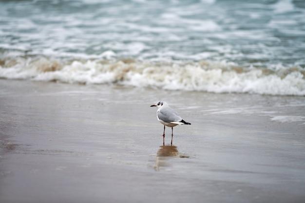 Zeemeeuw die langs kust loopt walking