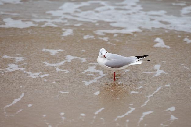 Zeemeeuw die langs zee loopt. kokmeeuw, chroicocephalus ridibundus, staande op het zandstrand in het water in de buurt van de oostzee.