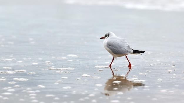 Zeemeeuw die langs zee loopt. kokmeeuw , chroicocephalus ridibundus