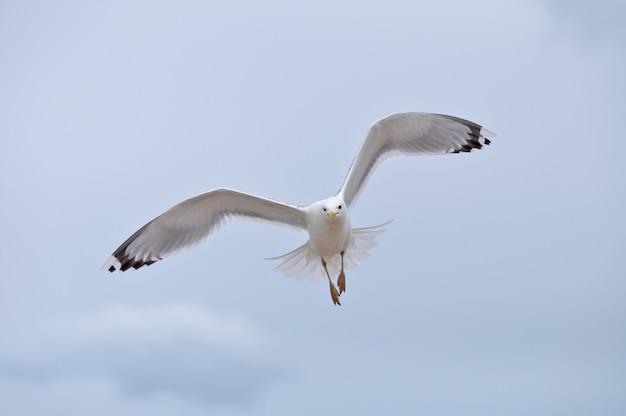 Zeemeeuw die op bewolkte witte hemel vliegt