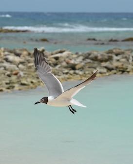 Zeemeeuw die over de oceaanwateren van baby beach op aruba vliegt.