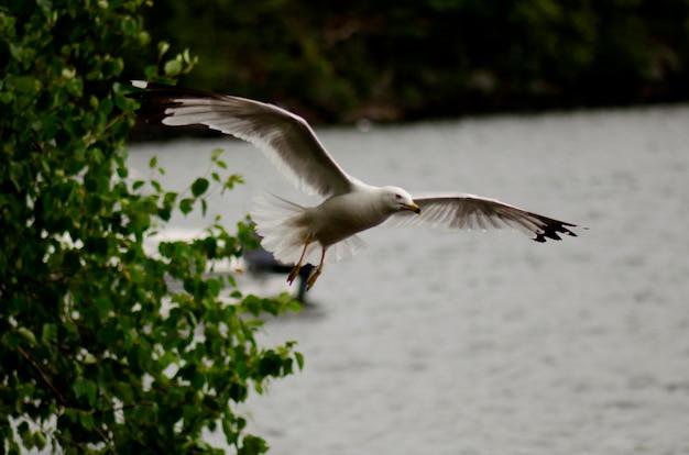 Zeemeeuw die over een meer, meer van het hout, ontario, canada landt