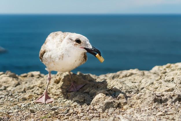 Zeemeeuw eet koekjes op een rots, tegen de blauwe zee.