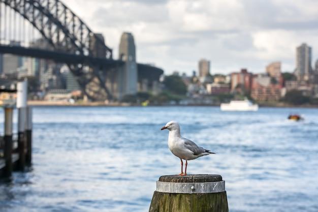 Zeemeeuw in sydney harbour