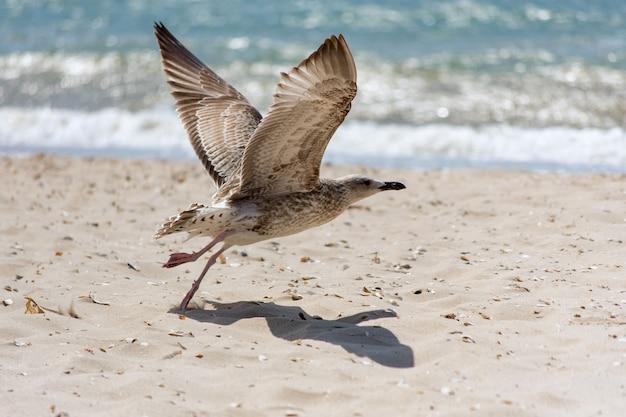 Zeemeeuw op het strand stijgt op