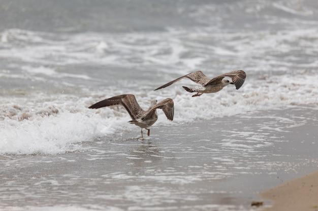 Zeemeeuw op het strand tijdens de vlucht