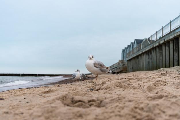 Zeemeeuw staat op het zand aan de kust en kijkt naar de camera