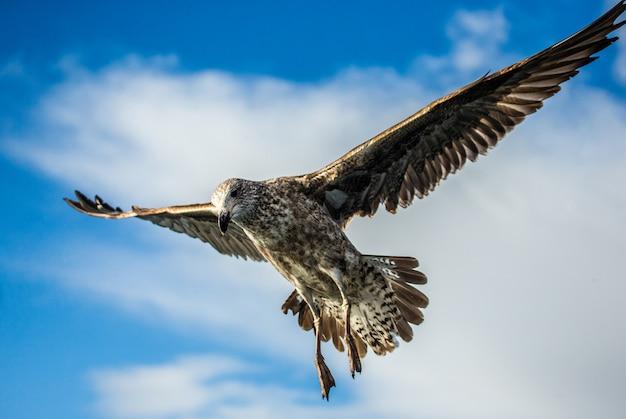 Zeemeeuw tijdens de vlucht tegen de blauwe hemel en de kustlijn