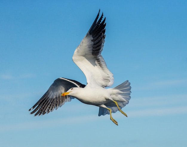 Zeemeeuw tijdens de vlucht tegen de blauwe hemel