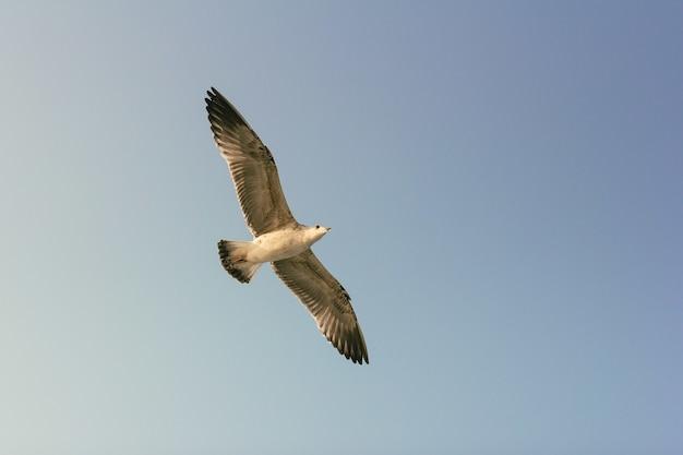 Zeemeeuw vliegt