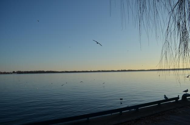 Zeemeeuwen bij de zonsondergang die door de havenbaai van toronto vliegen
