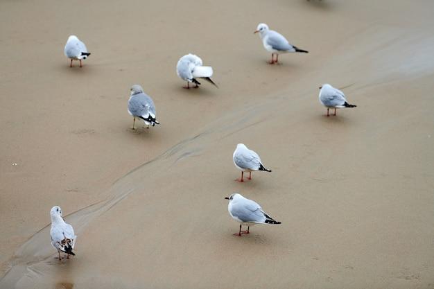 Zeemeeuwen die op kust lopen. kokmeeuwen, wandelen op het zandstrand in de buurt van de oostzee. chroicocephalus ridibundus.