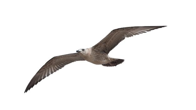Zeemeeuwvogel die op witte achtergrond wordt geïsoleerd