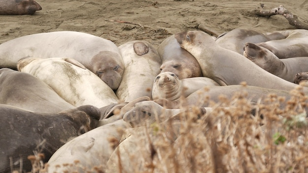 Zeeolifanten op oceaanstrand in san simeon, californië. onhandige dikke mirounga zeeleeuwen zonder oren.