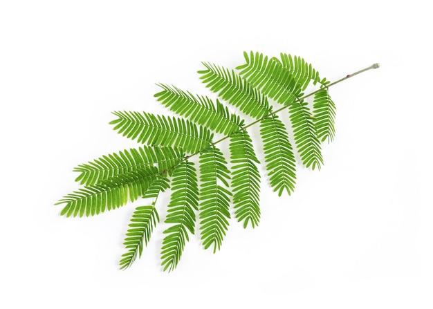 Zeep pod, groene bladeren geïsoleerd op wit