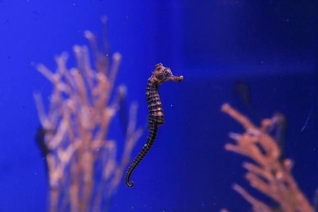 Zeepaardje zwemt in blauw water op een achtergrond van koralen