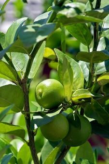 Zeer belangrijke lindeboom, of limao galego in het portugees