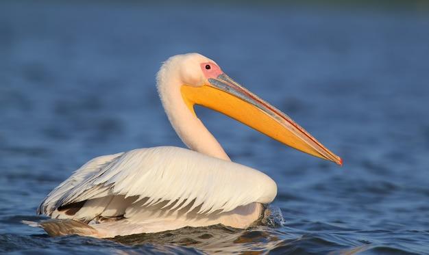 Zeer close-up portret van witte pelikaan.