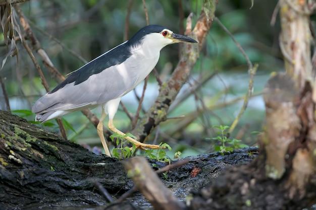 Zeer close-up van een volwassen nachtreiger in natuurlijke habitat