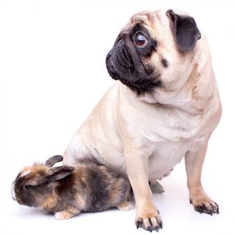 Zeer droevige die pug en konijn op witte achtergrond wordt geïsoleerd