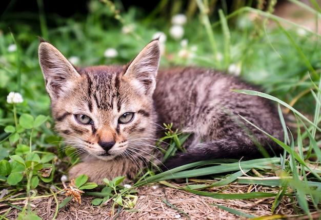 Zeer ernstige en ernstige tabby kitten ziet eruit als een lynx met grote oren die in het gras zitten.