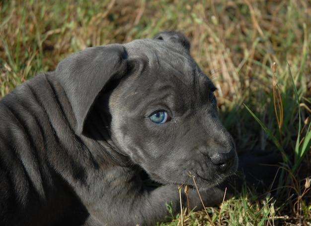 Zeer jonge puppyrietcorso