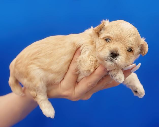 Zeer kleine maltipu-puppy ligt op de arm van de vrouw. fotoshoot op een blauwe achtergrond.