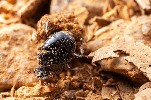 Zeer kleine mestkever - scarabaeidae - coprofaag bug op de natuur