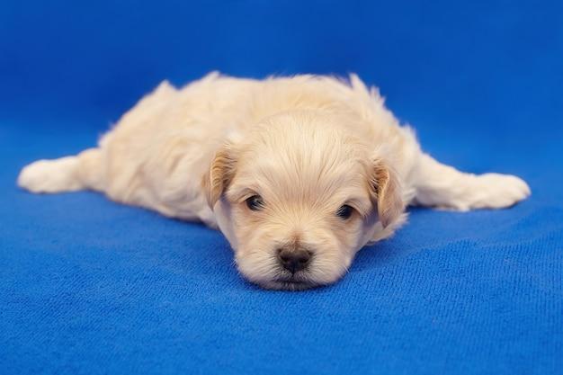 Zeer kleine puppy maltipu. fotoshoot op een blauwe achtergrond