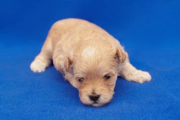 Zeer kleine puppy maltipu. fotoshoot op een blauwe achtergrond.