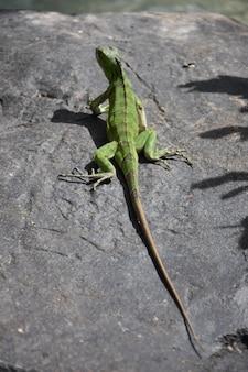 Zeer lange groene leguaan uitgestrekt op een rots
