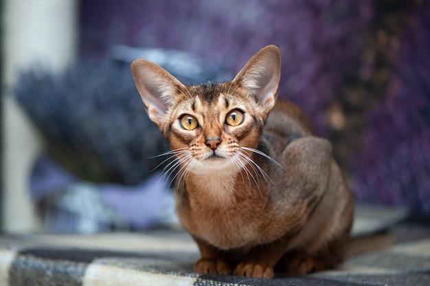 Zeer mooie abessijnse kat op de achtergrond van een lavendel veld, kijkend naar de camera