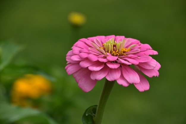 Zeer mooie bloeiende roze dahlia bloem bloesem in een tuin in de zomer.