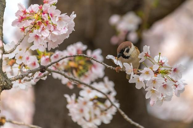 Zeer mooie mus vogel en japan sakura kersenbloesem bloem in de lente seizoen