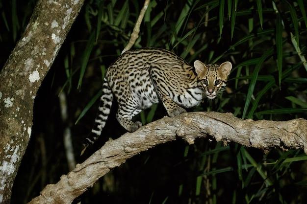 Zeer zeldzame ocelot in de nacht van de braziliaanse jungle