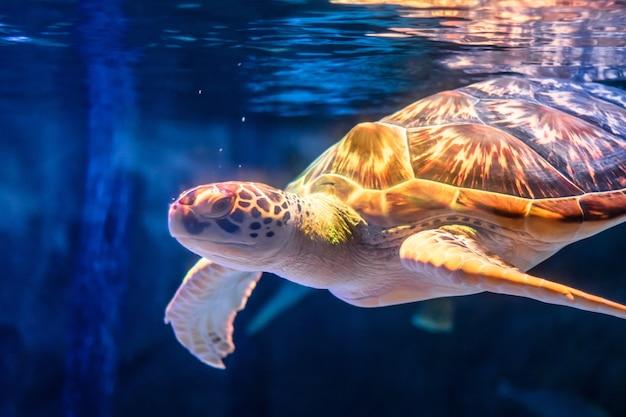 Zeeschildpad die op onderwaterachtergrond zwemmen.