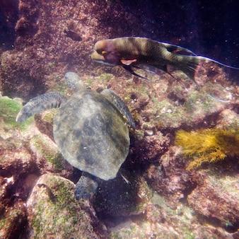 Zeeschildpad onderwater zwemmen, tagus cove, isabela island, galapagos eilanden, ecuador
