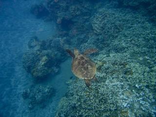Zeeschildpad, zwemmen