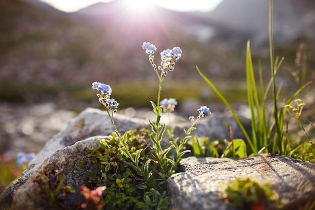 Zeldzame bergbloemen en planten die groeien op de helling van de bergen van de kaukasus, zonnige dageraad. kleine mooie wilde bloemen groeien tussen stenen in de avondzon. wilde vegetatie van de bergen van de kaukasus