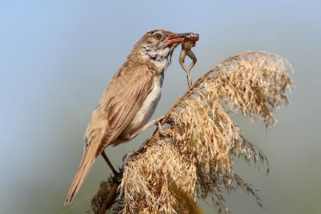 Zeldzame foto. grote karekiet vangt en eet een kleine kikker.